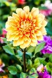 Dahliabloem in de koninklijke flora, chiangmaiprovincie Thailand royalty-vrije stock fotografie