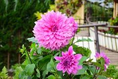 Dahliabloem, Tot bloei komende bloemen stock afbeeldingen