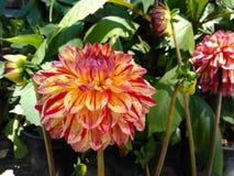 Dahliabloemen in openbare tuin stock afbeeldingen