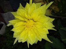 Dahliablomma efter regn royaltyfria foton
