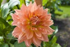 dahliablommaträdgård arkivfoto