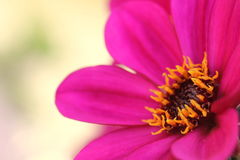 dahliaen blommar purple Royaltyfri Foto