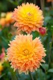 Dahliaguling- och apelsinblommor i trädgårds- full blom arkivbild