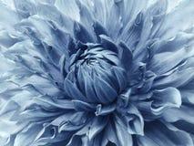 Dahlialjus - blå blomma Makro Brokig stor blomma Bakgrund från en blomma Royaltyfri Fotografi