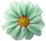 Dahlialjus - grön blomma vit bakgrund som isoleras med den snabba banan closeup med inga skuggor Royaltyfria Foton