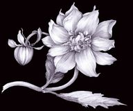Dahlian är en blomma och en knopp Teckning diagram Isolerat anmärka stock illustrationer