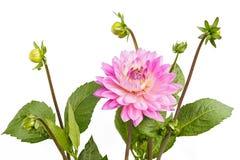 Dahlian av rosa färger färgar med knoppar på vit bakgrund Royaltyfria Bilder