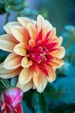 Dahlian blommar i det kalla vädret royaltyfria foton