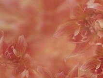 Dahlian blommar rosa färg-röd suddig bakgrund blommor på den suddiga bakgrunden alla några objekt för den blom- illustrationen fö Arkivfoto