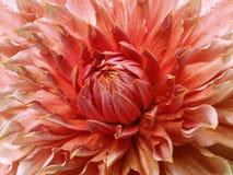 Dahliaröd-guling blomma Makro Brokig stor blomma Bakgrund från en blomma Royaltyfri Foto