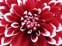 Dahliaröd-vit blomma closeup Brokig stor blomma Bakgrund från en blomma Royaltyfria Bilder