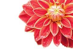 dahliared Royaltyfria Bilder