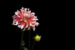 Dahliarosa färger och vitfärger; blommor på svart bakgrund 02 Arkivbild