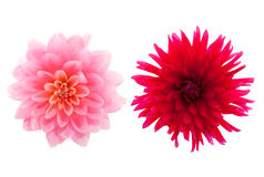 Dahlias. From the garden isolated over white Royalty Free Stock Photography