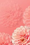 Dahlias. Pink background with dahlias (vertical Stock Photos