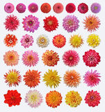 Dahlias. Set of different dahlias isolated on white background Royalty Free Stock Image