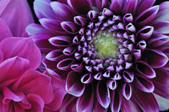 Dahlias. Close-up of colorful dahlias showing their patterns, details, and vibrant colors stock photo
