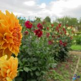 Dahlias Stock Photo