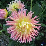 Dahlias Stock Photos