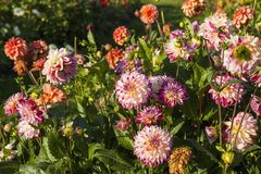 Dahlias. In a autumn garden royalty free stock photo