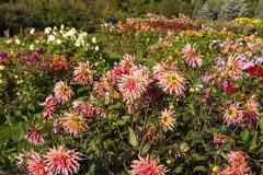 Dahlias. In a autumn garden royalty free stock images