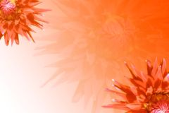 Dahlias background. Orange background or design with dahlias Stock Photo