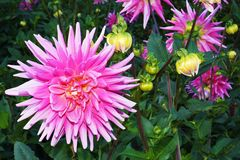 Dahlias Royalty Free Stock Images