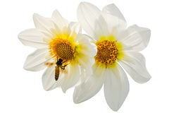 Dahlias with Bee. Pair of White Bedding Dahlias and honey bee collecting nectar in white background Stock Images