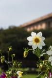 Dahlias blancs avec des bourgeons Image stock