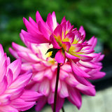 Dahlias. Bright pink dahlias in bloom close up Stock Photography