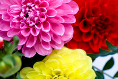 Dahlias bunch Royalty Free Stock Image