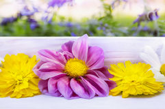 Dahlias and calendula flowers on white tray on garden background Royalty Free Stock Images