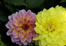 United colors of Dahlias stock photography