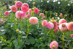 Dahlias cultivation outdoors in summer Royalty Free Stock Photography