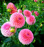 Dahlias cultivation outdoors in summer Stock Photography