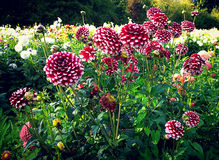 Dahlias cultivation outdoors in summer Royalty Free Stock Images