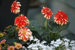 Dahlias dépouillés par orange Image libre de droits