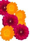 Dahlias et camomiles de fleurs photo libre de droits