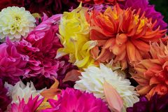 Dahlias fresh from garden in out door farm setting in Pennsylvania Royalty Free Stock Images
