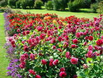 Dahlias in a garden. With lawn and trees Stock Photos
