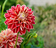 Dahlias in garden. Bush of dahlias in a garden Royalty Free Stock Photo