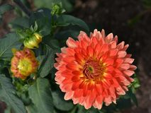 Dahlias in garden. Closeup of a Dahlias flower. Detail, dahlias in garden. Summer and autumn flowers stock photography