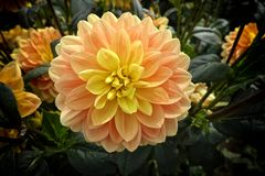 Dahlias in garden. Closeup of a Dahlias flower. Detail, dahlias in garden. Summer and autumn flowers stock photo