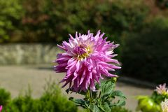 Dahlias in the garden. Flowers / Flowering dahlias in the garden royalty free stock photo