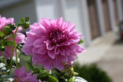 Dahlias in the garden. Flowers / Flowering dahlias in the garden stock images