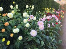 Dahlias. In the garden of Hardwick Hall Royalty Free Stock Photo