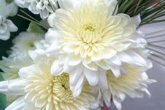 Dahlias magnifiques de fleurs blanches photographie stock libre de droits
