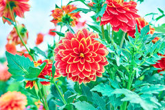 Dahlias, orange colored flowers on floral Stock Photo