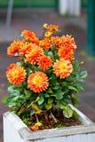 Dahlias oranges dans le pot en pierre Images stock