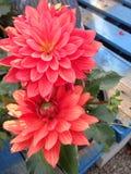 Dahlias oranges et rouges Photographie stock